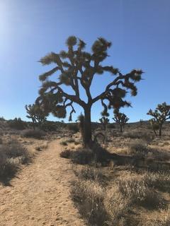 big ol joshua tree
